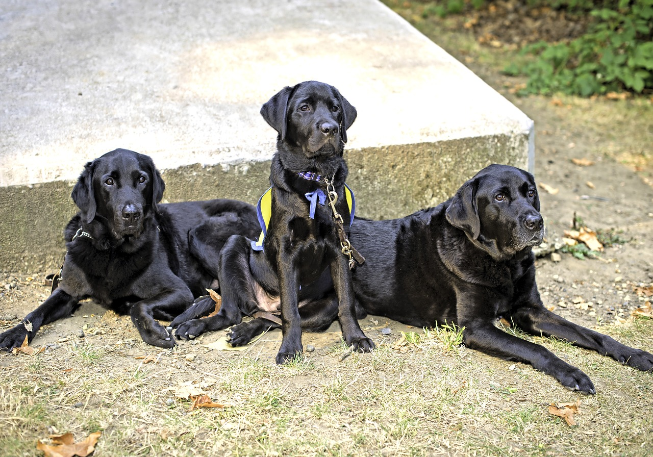 three generations of service dogs, background, service