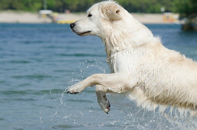 golden retriever, jump into the water, cooling