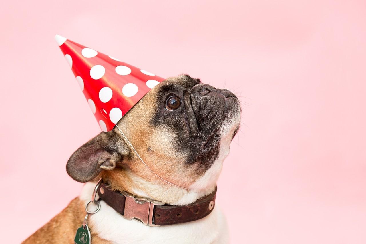 dog, pug, party