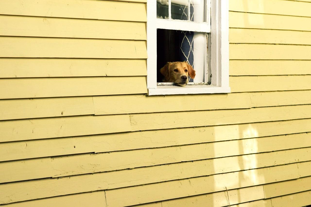 house, window, pet