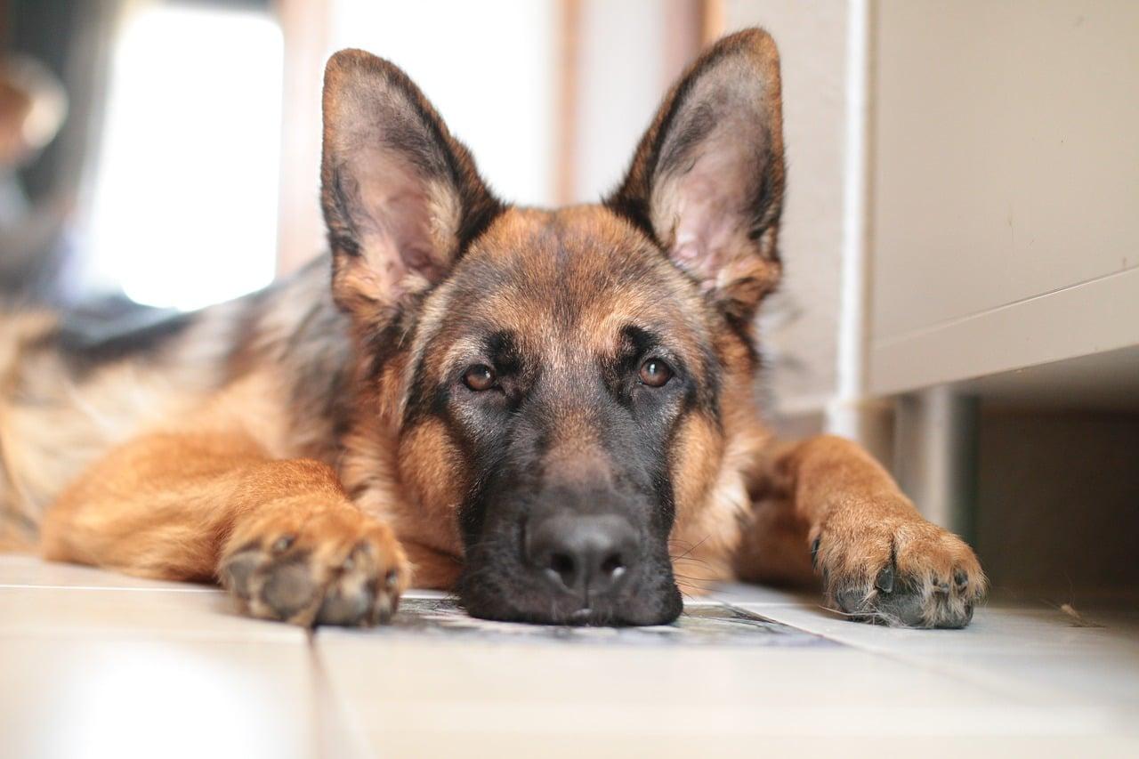 german shepherd, dog, domestic animal