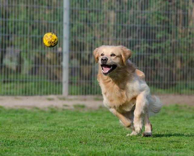 golden retriever, animal shelter