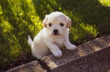 Young puppy white
