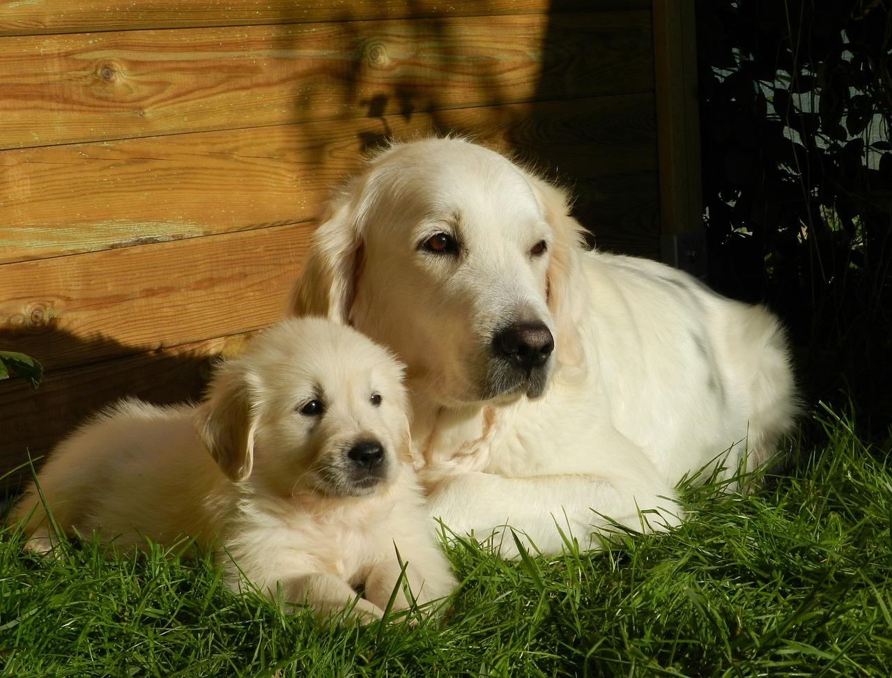 dog, puppy, golden retriever