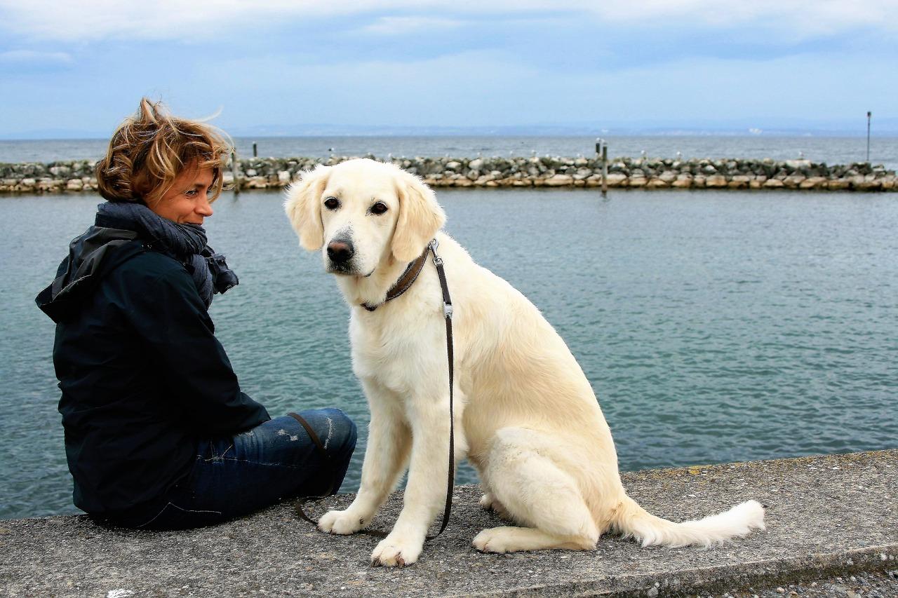 white dog, golden retriever, animal