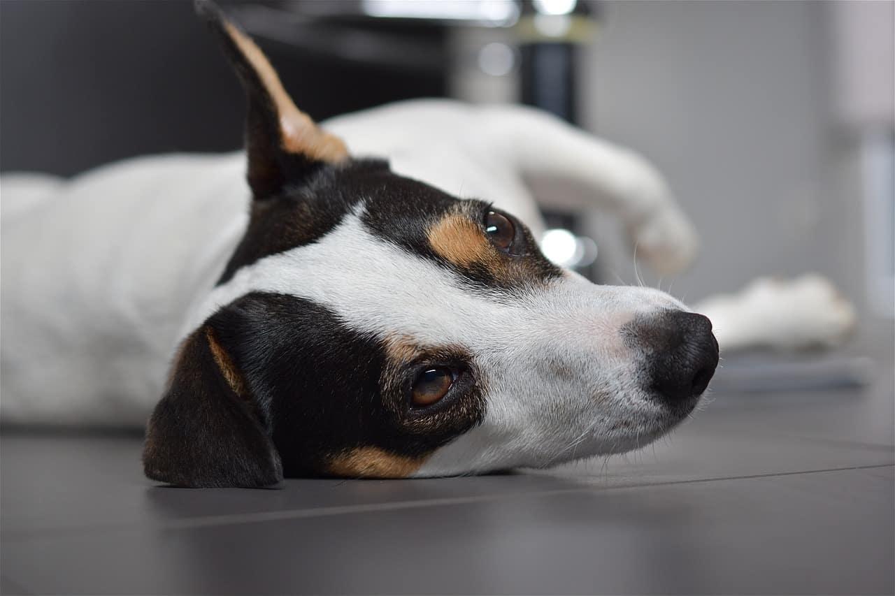 dog, jack russel, cute