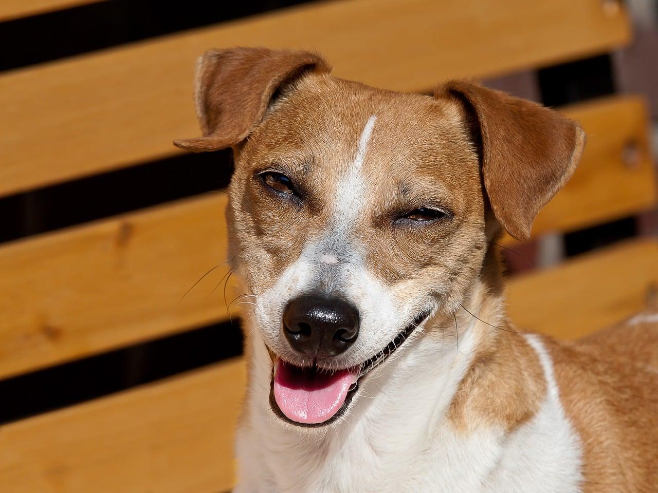 dog, laugh, jack russel