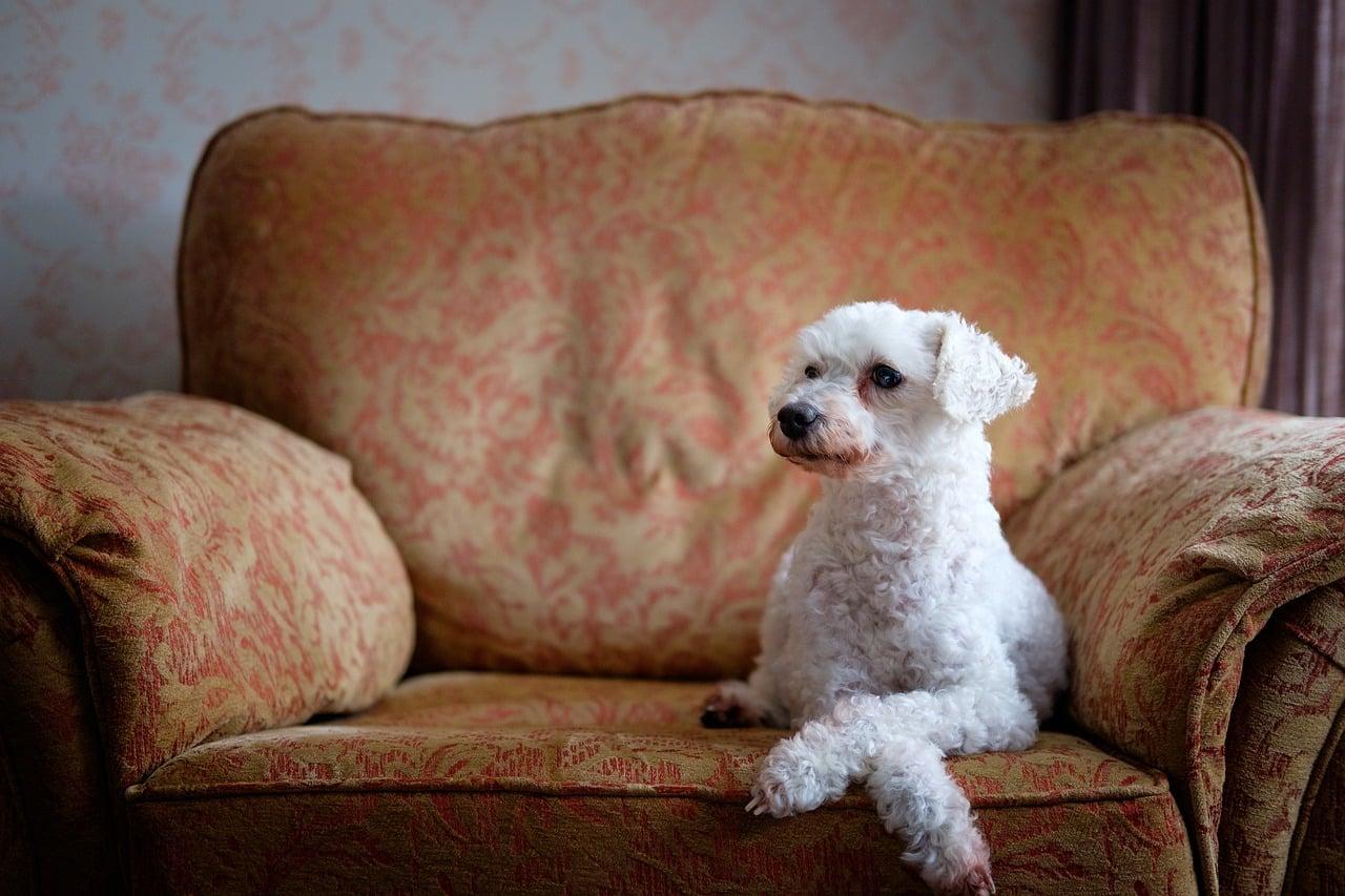 dog, chair, pet