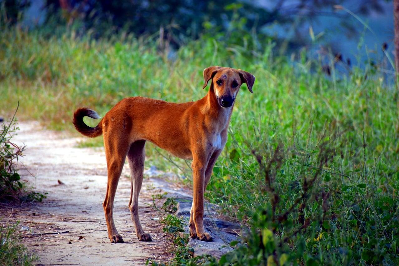 yellow pariah dog, pye-dog, canine